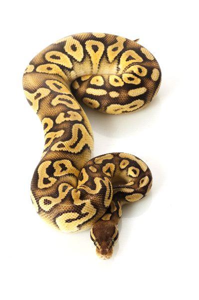 Ball Python - Python Regius