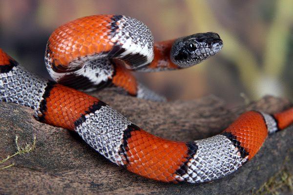 Beautiful Coral Snake