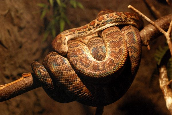 Brown Twine Of Boa Constrictor