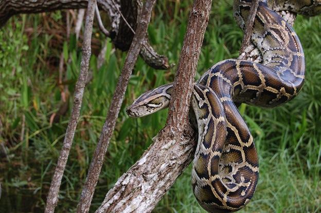 Burmese Python, a Vulnerable species