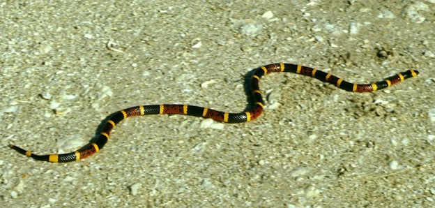 Eastern coral snake or common coral snake