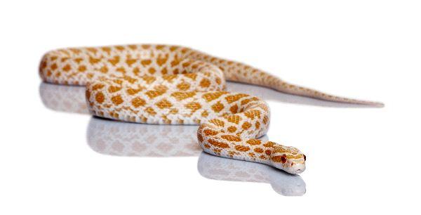 Corn Snake or Red Rat Snake Sliding