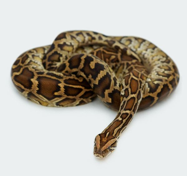Curled Reticulated Python