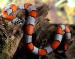 Dangerous Coral Snake