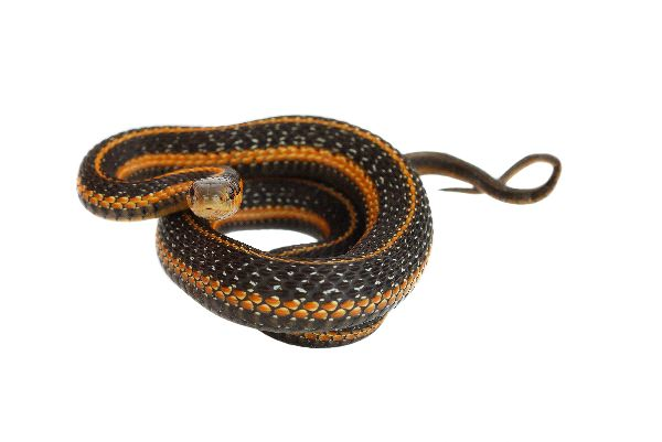 Garter Snake Preparing For Jump