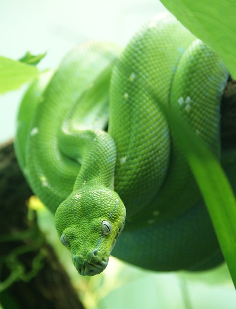 Amazing information about Green tree python