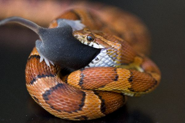 Image result for snake bushmaster eating mice