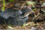 Poisonous Water Moccasin Snake Coiled On The Ground