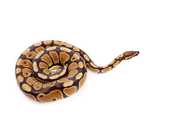 Python_Isolated_Over_White_Background_600