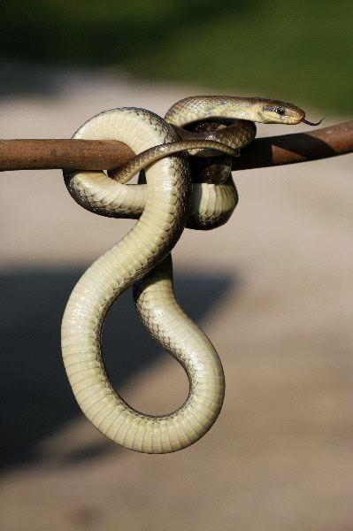 Snake_Hanging_600