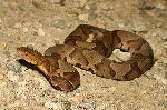 Venomous Copperhead Snake
