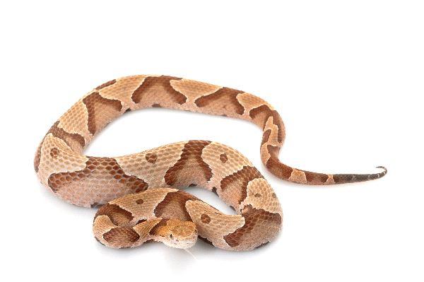 Venomous_Southern_Copperhead_Snake_-_Agkistrodon_Contortrix_600
