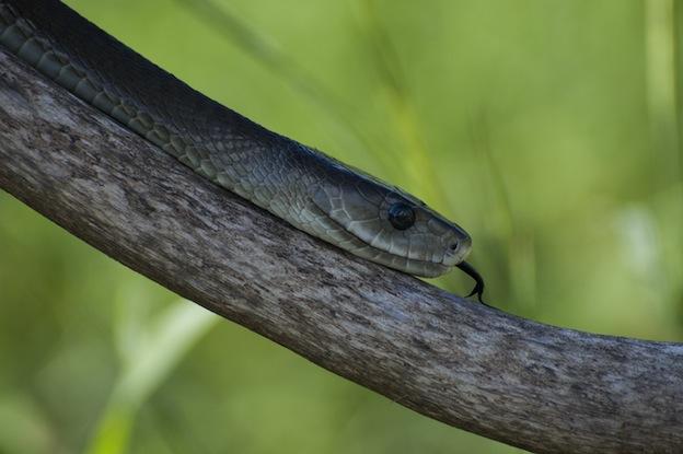 Common black mamba or Black-mouthed mamba