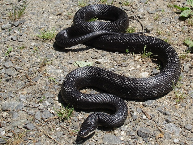 Western rat snake or Texas ratsnake