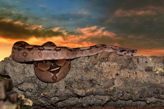 facts about Boa constrictor