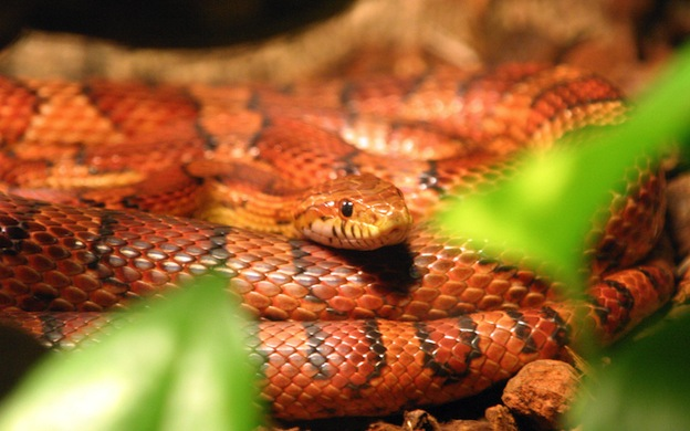 Corn snake, Red rat snake or Red Cornsnake