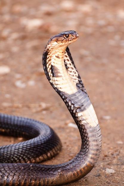 King cobra, the longest venomous snake in the world