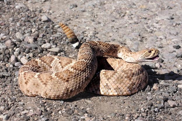 Rattlesnake species