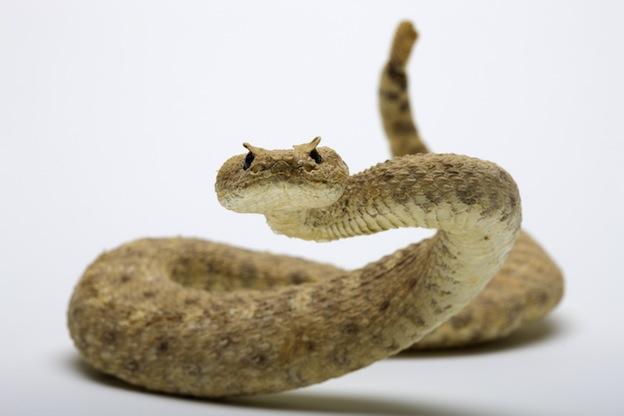 Rattlesnake, a venomous pit viper