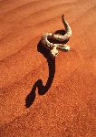 A Sidewinder Rattlesnake In The Desert