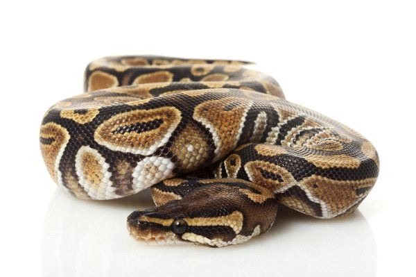 Ball Python Close-Up
