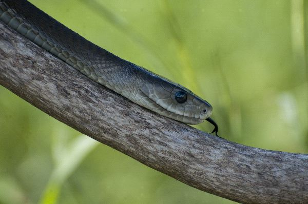Black Mamba Sliding Down A Branch