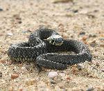 Black Snake On Alert