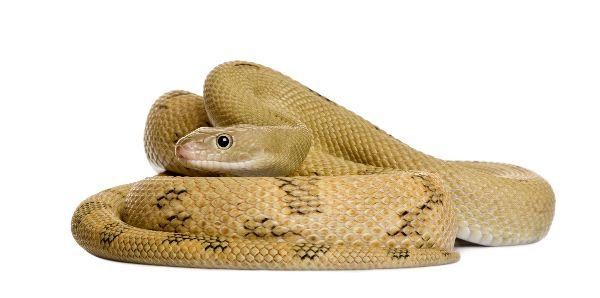 Coiled Rat Snake - Bogertophis Subocularis