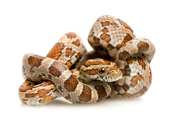 Corn Snake And His Body Rolled