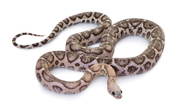 Corn Snake or Red Rat Snake - Pantherophis Guttatus