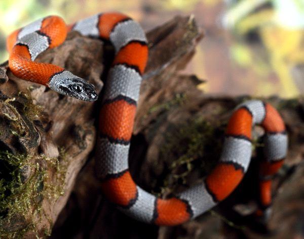 Peligrosa_serpiente_del_coral_600
