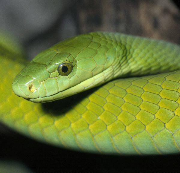 Dangerous Green Mamba Close-Up