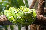 Emerald Boa Or Green Tree Boa