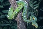 Boa Esmeralda Enrollada En Un Árbol