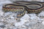 Garter Snake Crawling On Gravel