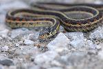 Serpiente De Liga Arrastrándose En La Grava