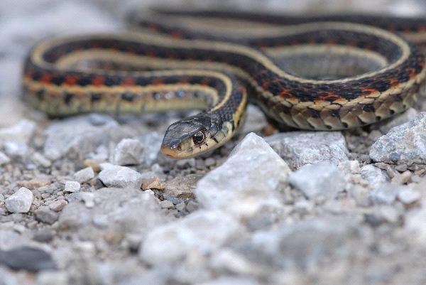 Garter Snake Crawling On Gravel