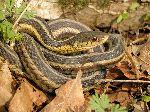 Garter Snake Resting In Foliage