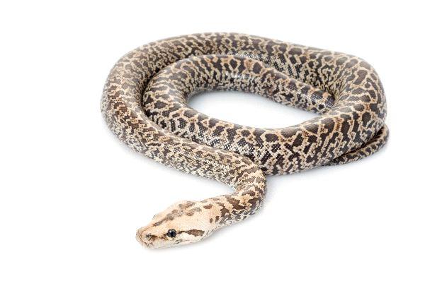 Pit n birmana con estampado de granito serpientes for Informacion sobre el granito
