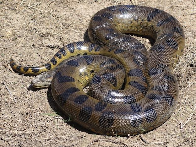 Información sobre la anaconda verde o anaconda común.
