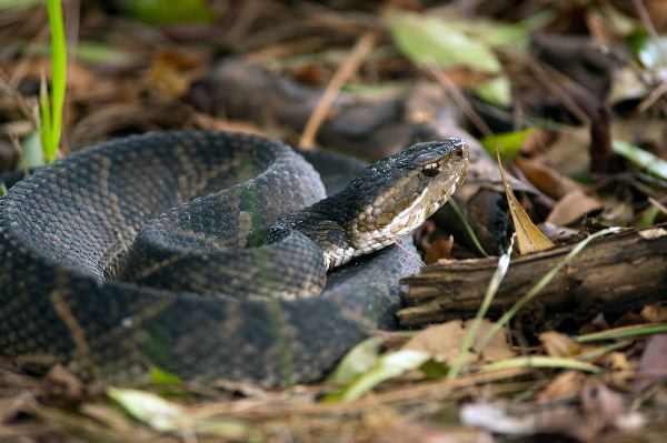 Poisonous_Water_Moccasin_Snake_Coiled_On_The_Ground_600
