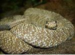 Serpiente De Cascabel Alerta Mostrando Su Cascabel