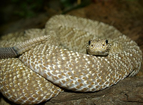 Rattlesnake_Alert_and_Showing_Its_Rattle_600