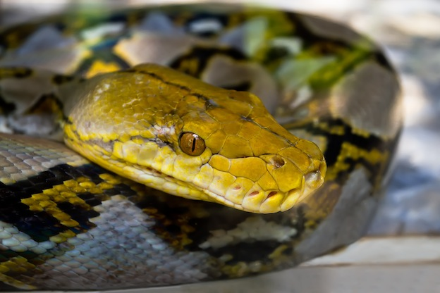 Information about Asiatic reticulated python