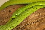 Shining Green Mamba Snake