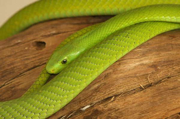 Shining_Green_Mamba_Snake_600