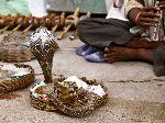 Encantador De Serpientes Con Dos Cobras De La India
