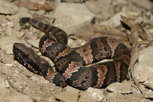 Water Moccasin Snake characteristics