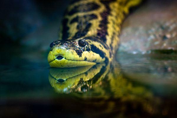 Yellow_Anaconda_Entering_a_Swamp_600