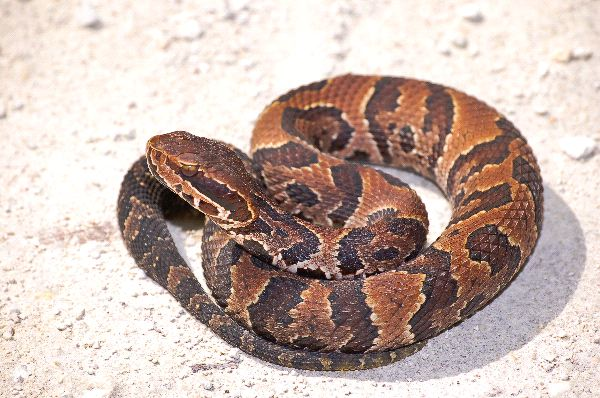 Young_Cottonmouth_Snake_On_Sand_Field_600